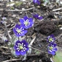 Hepatica_nobilis_blue_2012