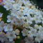 viburnum flowers