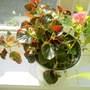 Last Years Begonias