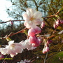 Blossom_march_001