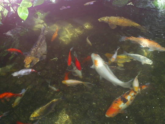 Fish pond in winter gardens sunderland grows on you for Koi pond in winter