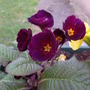 Burgundy Primula