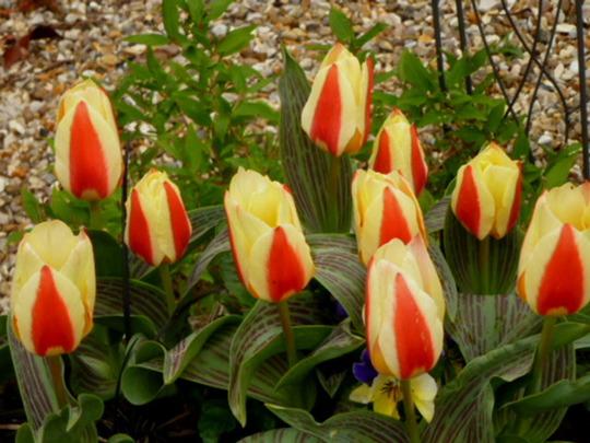 Tulip '  Glück '