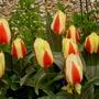 Tulip_..._gluck_