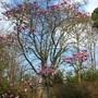 168_magnolia_tree