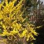 Forsythia 'Beatrix Farrand' (Forsythia intermedia (Forsythia))