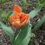 Tulip_ballerina