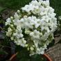 Viburnum juddi - close up