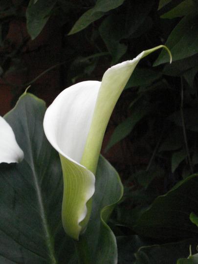 Arum lily longest day