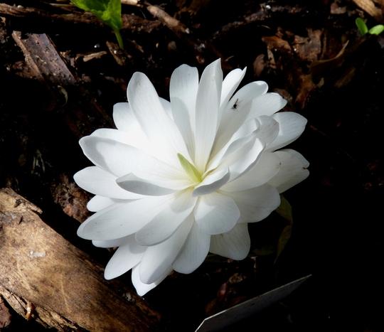 Sanguinaria canadensis Flore-pleno (Sanguinaria canadensis Flore-pleno)