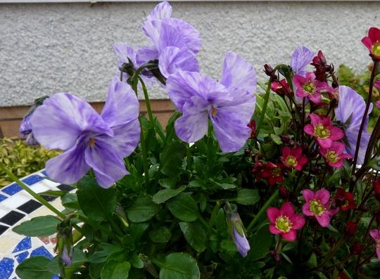 Viola 'columbine'