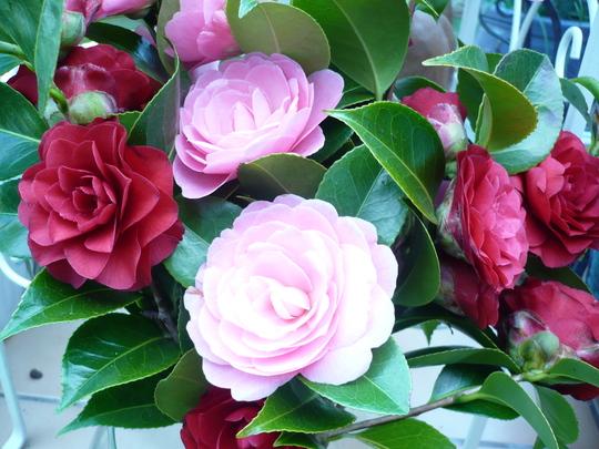 Brian's camellia's