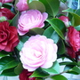 Brians_camellias_003
