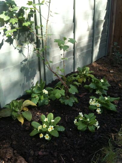 IMG 0292 (Ribes sanguineum (Flowering currant))