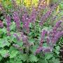 Salvia_vercillicata_purple_rain_