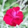 Lychnis_coronaria_gardeners_world_