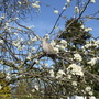 Pigeon in the greengage tree