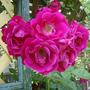 Rose - All Ablaze
