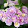 Primula Belarina : Pink Ice (Primula)