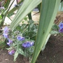 Pulmonaria  (Pulmonaria angustifolia (Blue Cowslip))