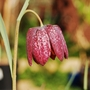 I thought that I'd lost these........ (Fritillaria meleagris (Snake's head fritillary))