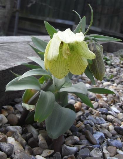 Fritillaria pallidiflora - 2012 (Fritillaria pallidiflora)