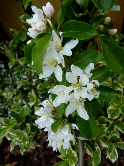 Crab apple blossom (Malus coronaria (Sweet Crabapple))