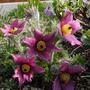 Pulsatilla vulgaris dusky pink 2012