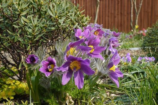 Pulsatilla vulgaris pale lilac 2012