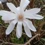 Magnolia_4