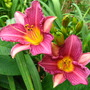 Purple D'oro daylily (hemmerocallis  purple  d'oro)