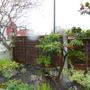 Pyracantha cloud pruned 2