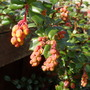 2nd March 2012 - Berberis