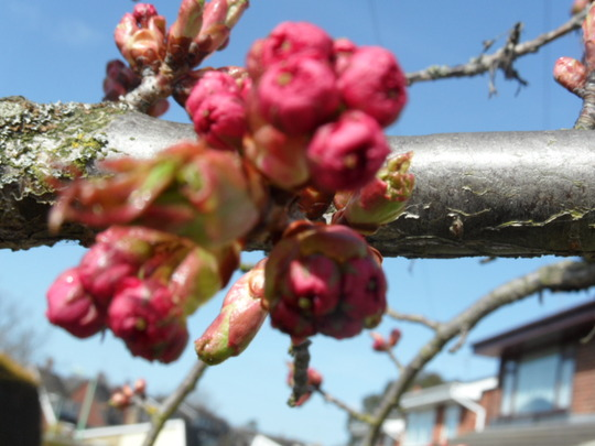 2nd March 2012 - Blossom just beginning to open on the flowering cherry tree
