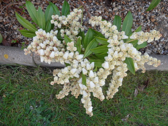 2nd March 2012-Pieris in flower