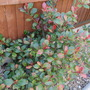 2nd March 2012-PHOTINIA-Little Red Robin (Dwarf)