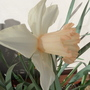 PRETTY WHITE DAFF WITH PALE ORANGY/PINK TRUMPET