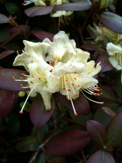 Rhododendron 'Shamrock' (Rhododendron 'Shamrock')