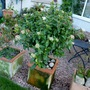 Standard Viburnum Tinus in a pot....