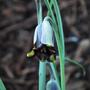 Fritillaria elwesii (Fritillaria elwesii)