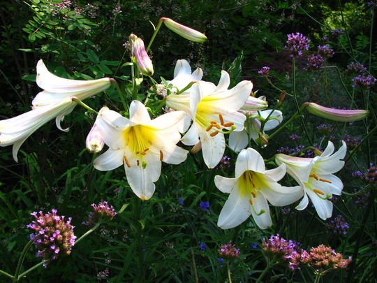 Regale trumpet lilies opened last week, the fragrance is addictive, I find myself wondering over by them every chance I get.