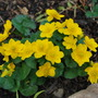 Caltha palustris. (Caltha palustris (Kingcup))