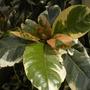 Pisonia umbellifera variegata  - Variegated Birdcatcher Tree (Pisonia umbellifera variegata  - Variegated Birdcatcher Tree)