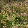 Cuphea ignea - Cigar Plant (Cuphea ignea - Cigar Plant)