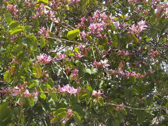 Bauhinia variegata - Orchid Tree (Bauhinia variegata - Orchid Tree)