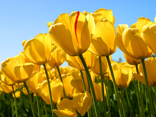 Tulips (Curcuma alismatifolia (Siamese Tulip Ginger))