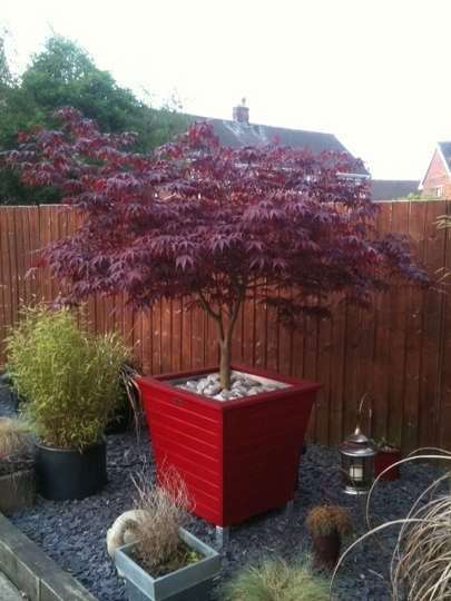 My potted Acer plant – This is my favorite plant in the garden.