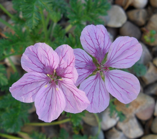 Erodium 'Spanish Eyes' (Erodium glandulosum 'Spanish Eyes')