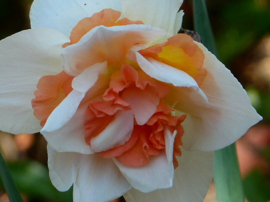 Narcissus '   Delmashaugh '