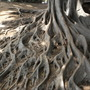 Massive Root-System of Ficus macrophylla - Australian Banyan Tree (Ficus macrophylla - Australian Banyan Tree)